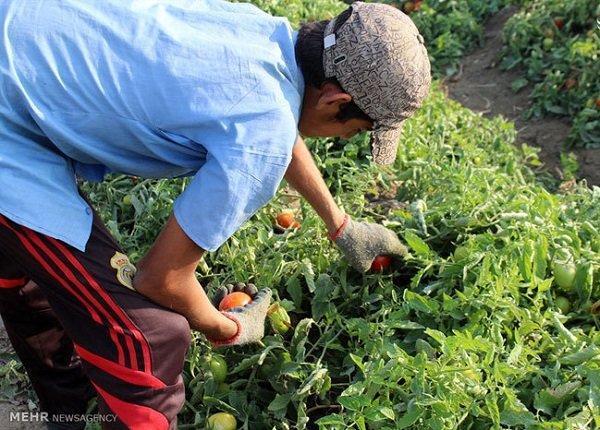 پیش بینی افزایش فراوری محصولات کشاورزی در اندیمشک دور از تصور نیست