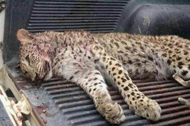 شکارچی پلنگ در خراسان شمالی دستگیر شد
